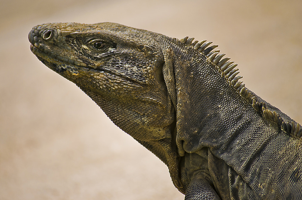 Photograph Iguana in the Sun by Andy Butler on 500px