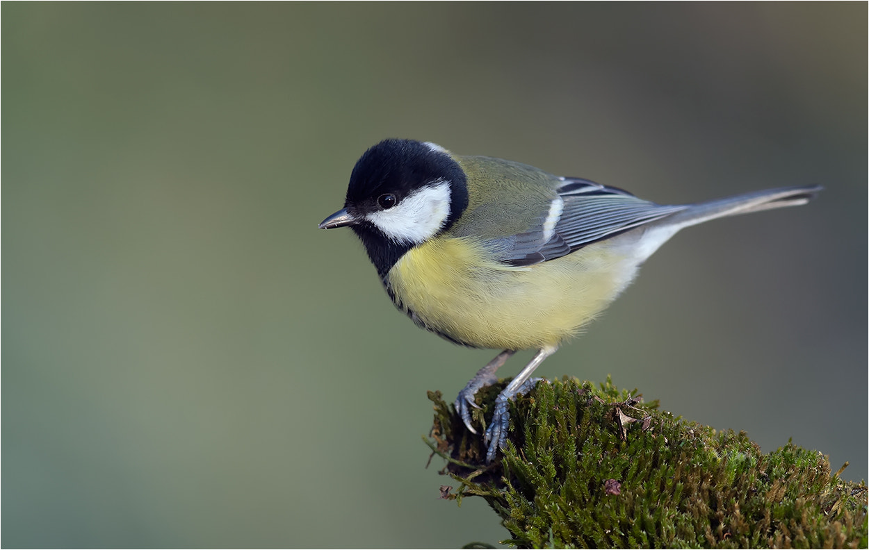 Photograph Great Tit / Kohlmeise_1 by Hans Rentsch on 500px