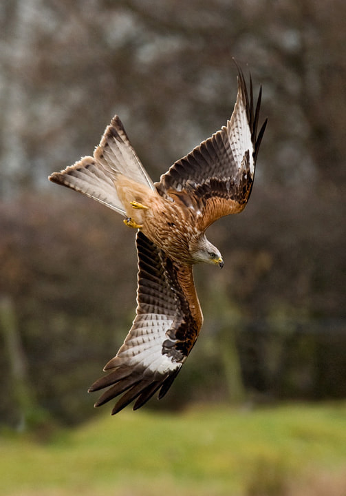 Photograph Red Kite by Tony Flashman on 500px