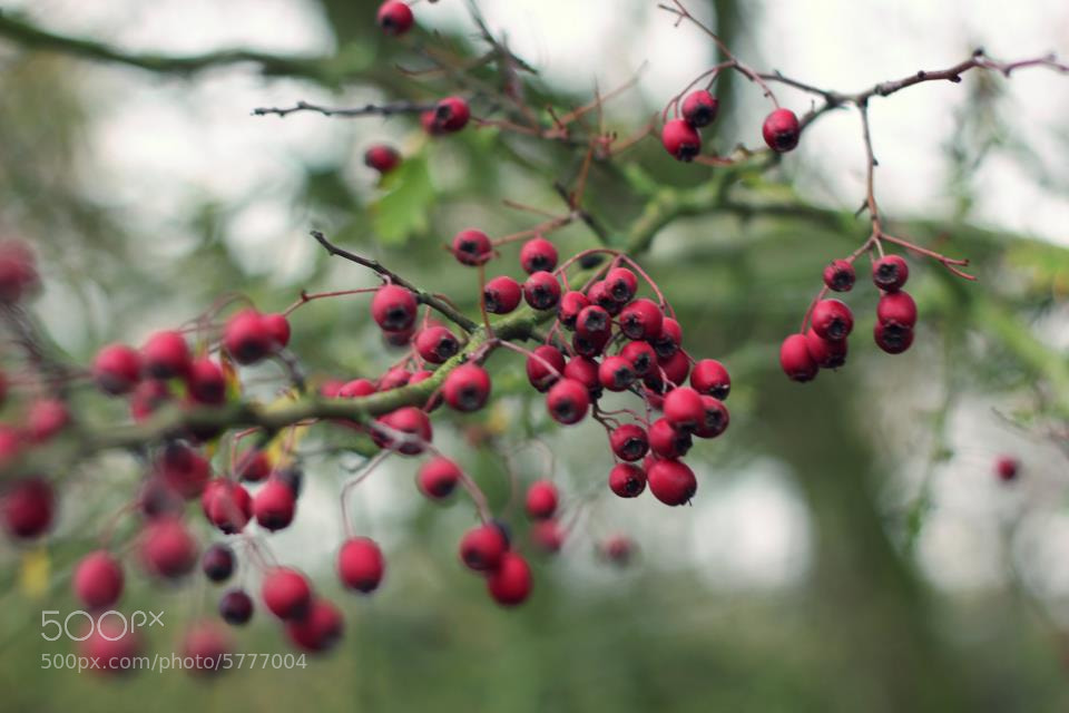 Photograph Glossy berries by Stephanie Jackson on 500px