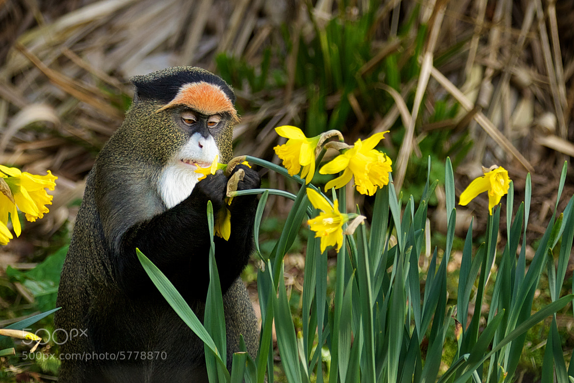 Photograph I dont like Daffodils! by Mark Bridger on 500px