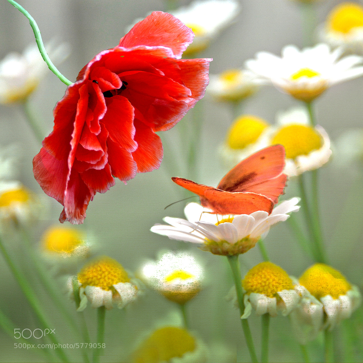 Photograph The poppy and the butterfly by Irene Weiss on 500px