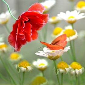 The poppy and the butterfly by Irene Weiss (weirena)) on 500px.com