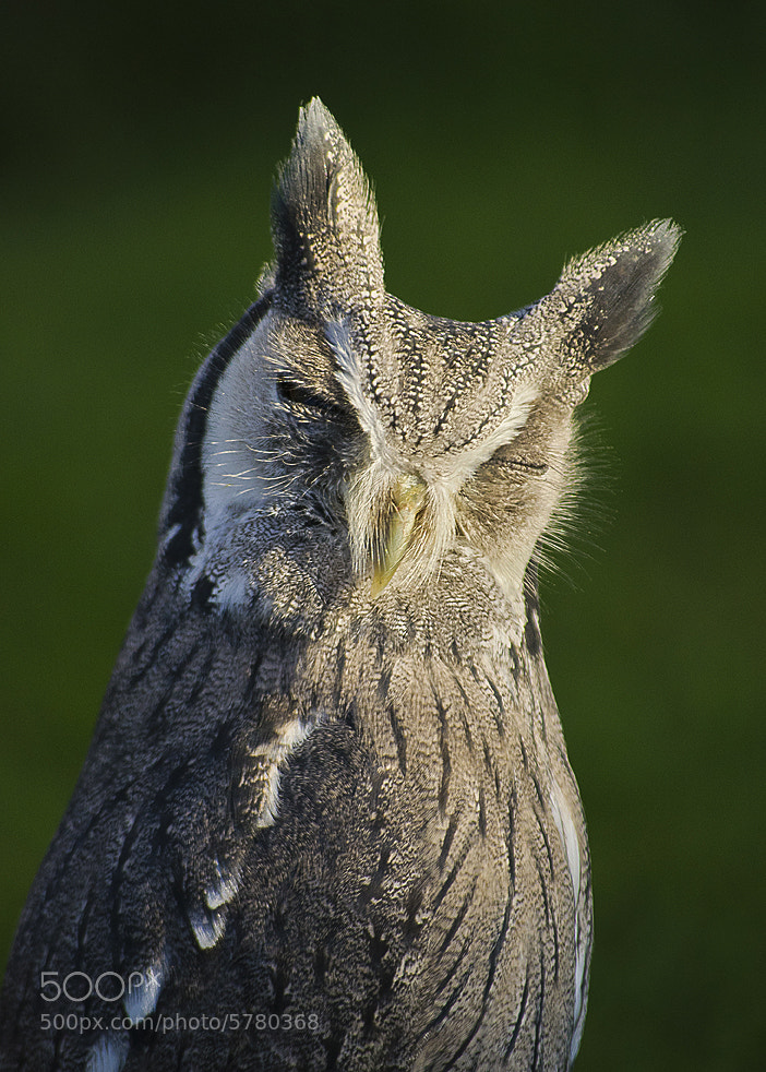 Photograph Sleepy Scops Owl by Andy Butler on 500px