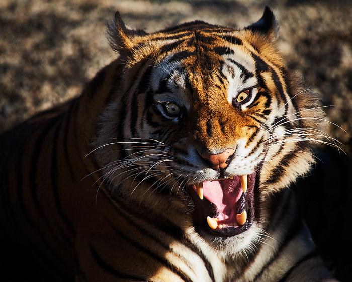 Photograph The Bengal Response by Alan Howe on 500px