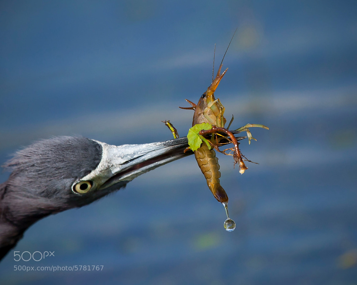 Photograph Little Blue Heron and its Longostino by Miguel Angel Leyva on 500px
