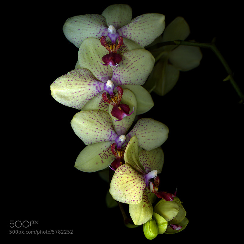 Photograph ORCHID CASCADE... by Magda Indigo on 500px