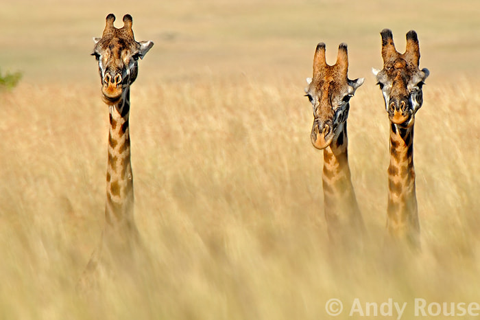 Photograph Giraffe necks by Andy Rouse on 500px