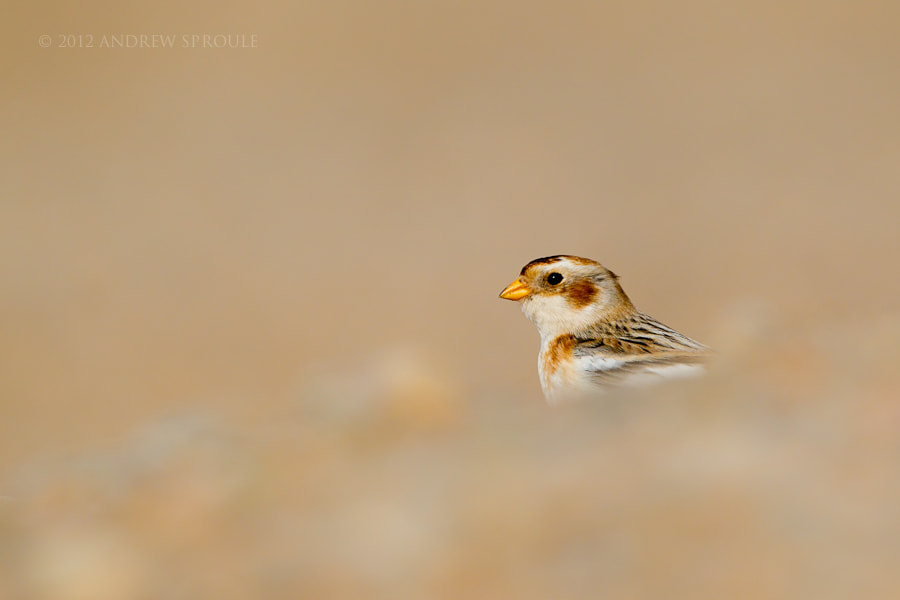 Photograph Wintering Snow Bunting by Andrew Sproule on 500px
