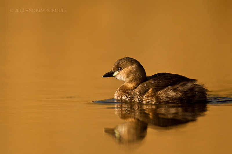 Photograph Female Little Grebe by Andrew Sproule on 500px