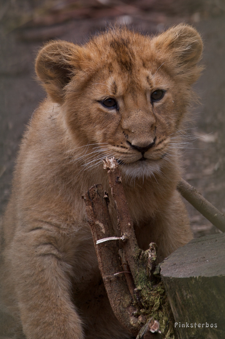 Photograph Lion Cub by Familie Pinksterbos on 500px
