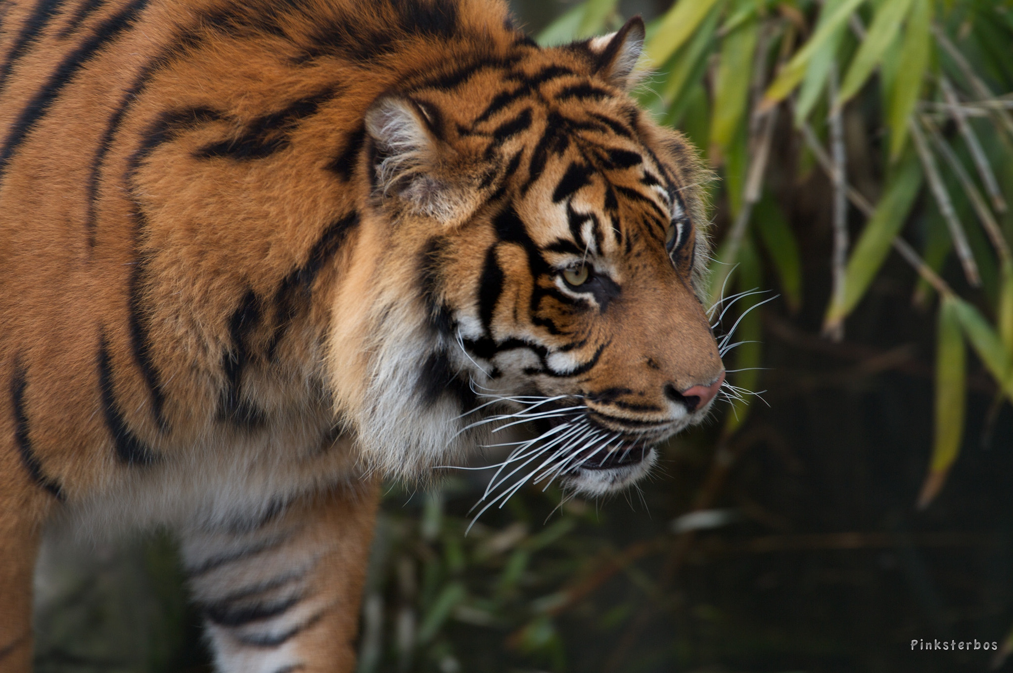 Photograph Tiger by Familie Pinksterbos on 500px