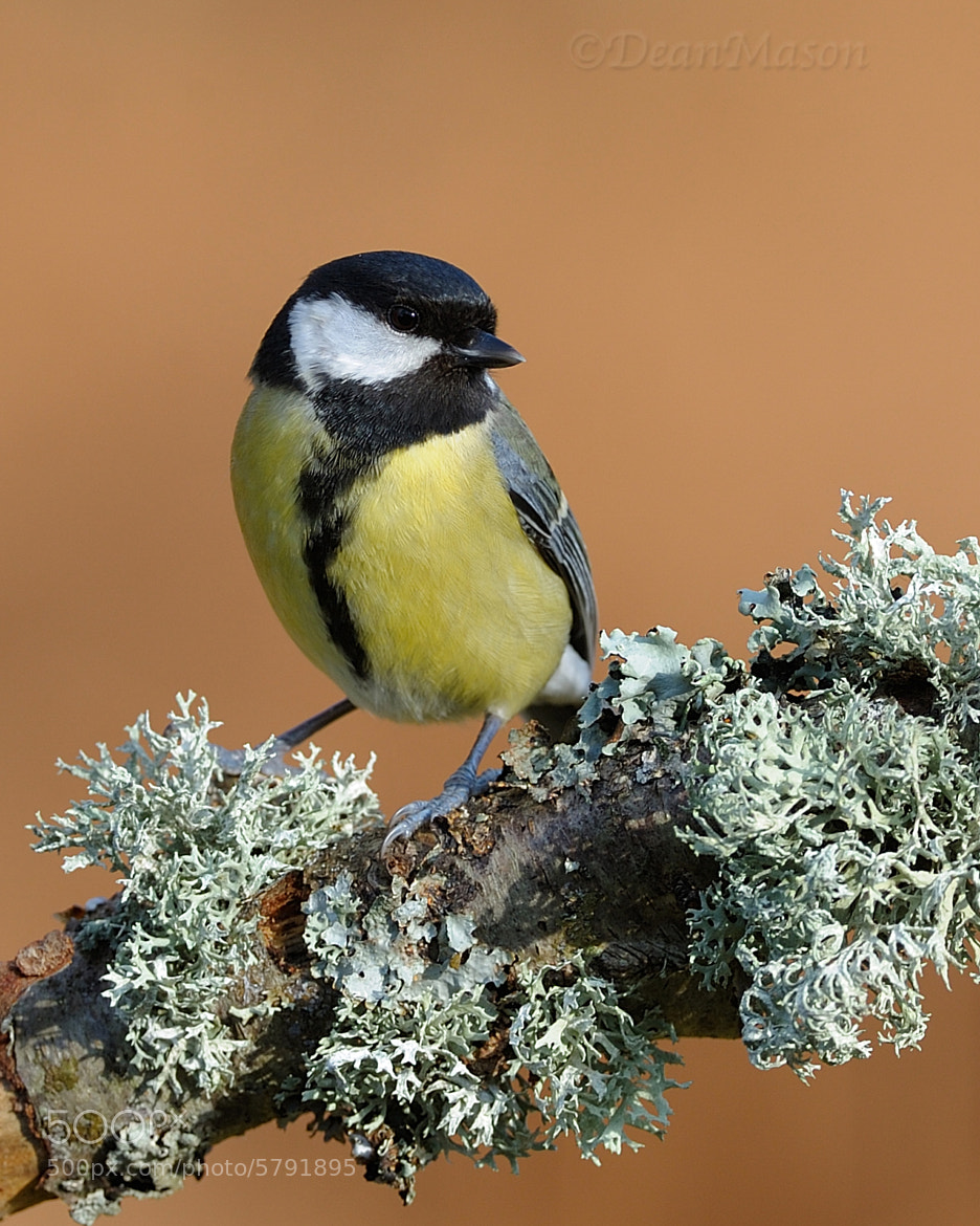 Photograph Great Tit by Dean Mason on 500px