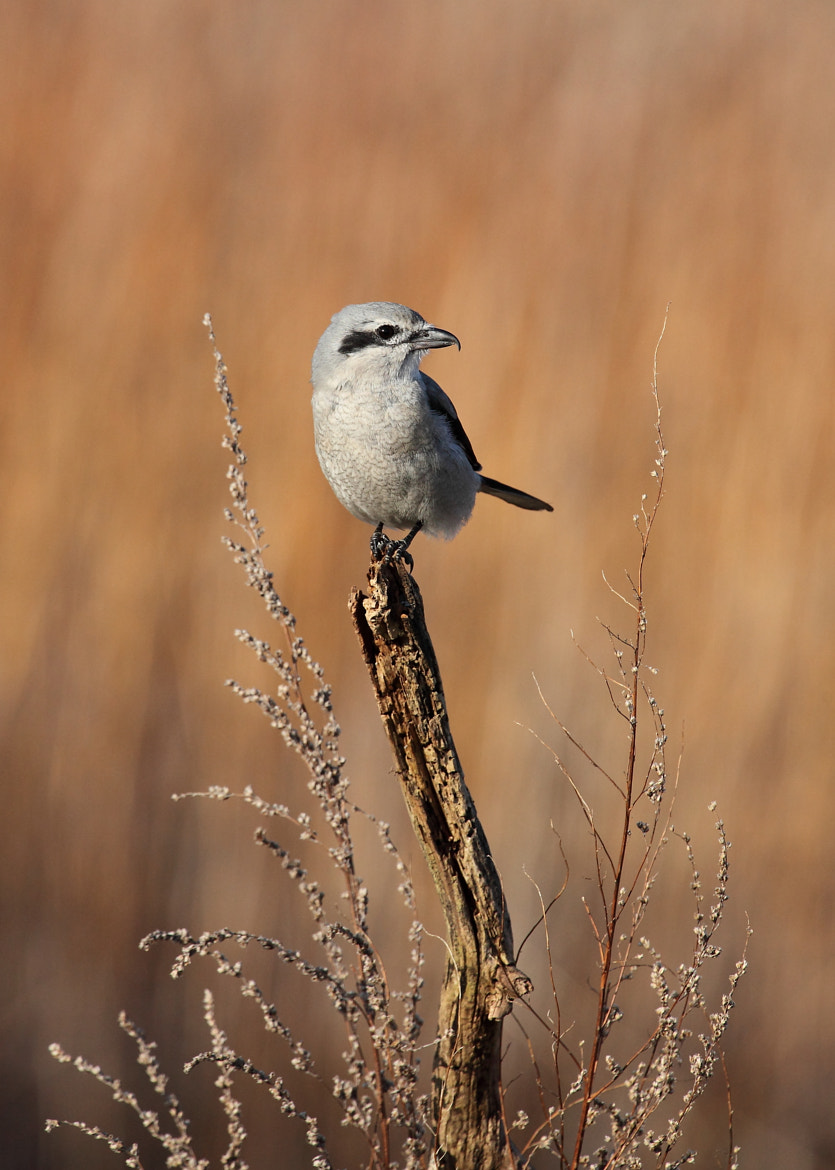 Photograph Nothern Shrike (pie-grièche grise) by Jean-François Gaudreau on 500px
