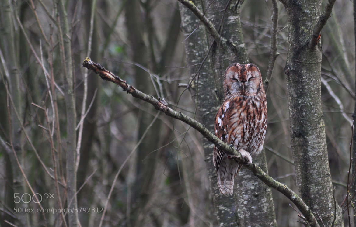 Photograph Tawny Owl by Jess Owen on 500px