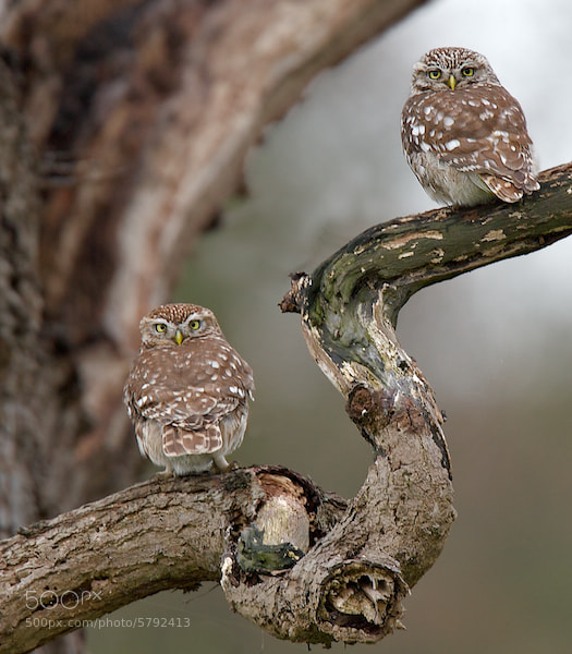 Photograph PAIR OF LITTLE OWLS by Ron Weaver on 500px