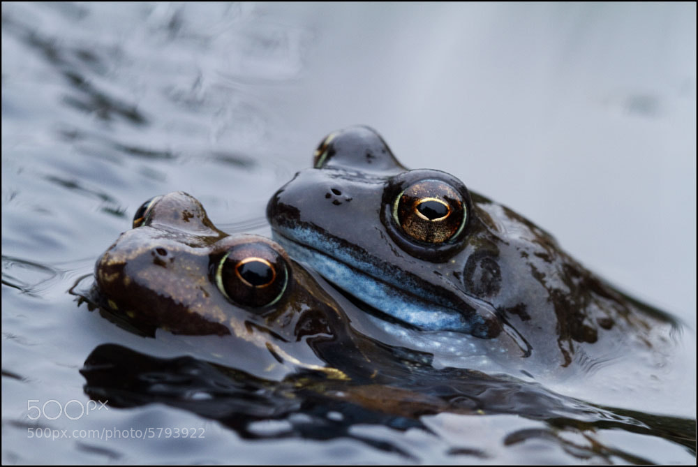 Photograph Frogs by Squirrelnutkins on 500px