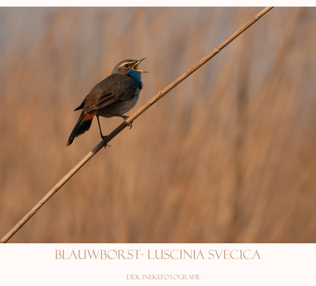 Photograph bluethroat by Ineke Nientied on 500px
