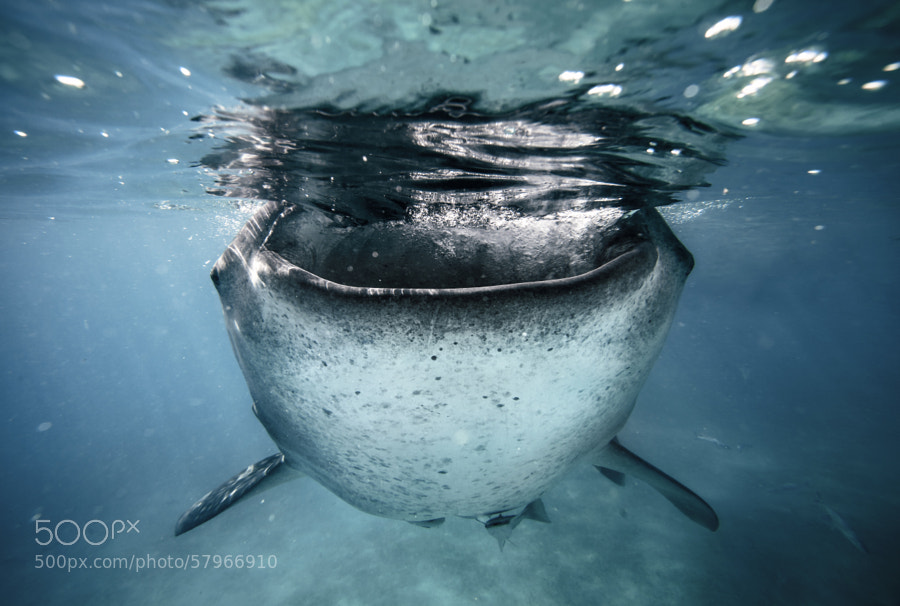 Photograph Whale shark by Sebastian-Alexander Stamatis on 500px