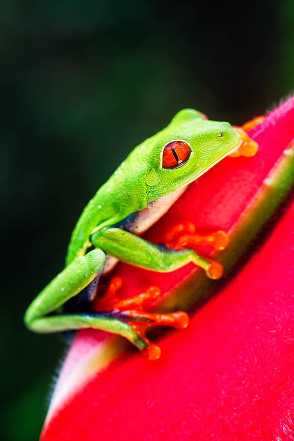 Photograph Red-eyed Tree Frog by Thomas Chamberlin on 500px