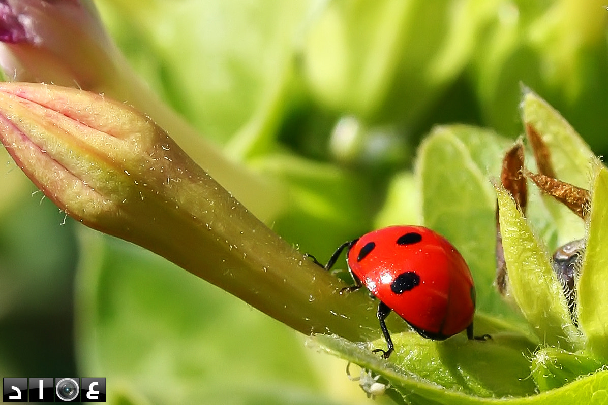 Photograph lady beetle by Imad Mesbahi on 500px