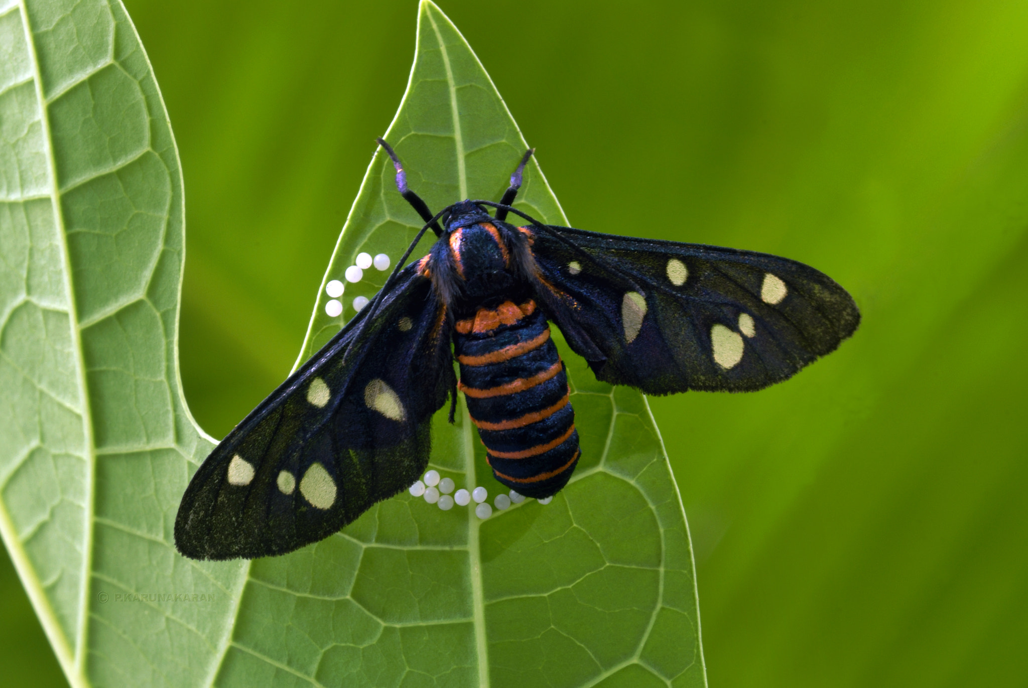 Photograph Egg laying moth_P.Karunakaran by Karunakaran  Parameswaran Pillai on 500px