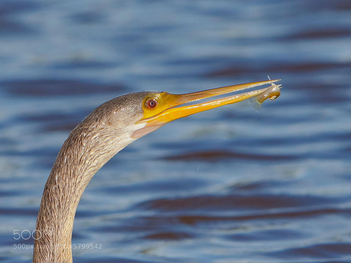Photograph Anhinga and Mosquito Fish by Miguel Angel Leyva on 500px