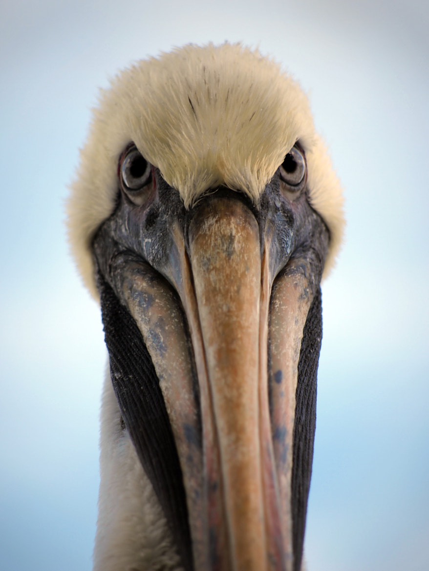 Photograph Pelican Face by Jesse Sideman on 500px