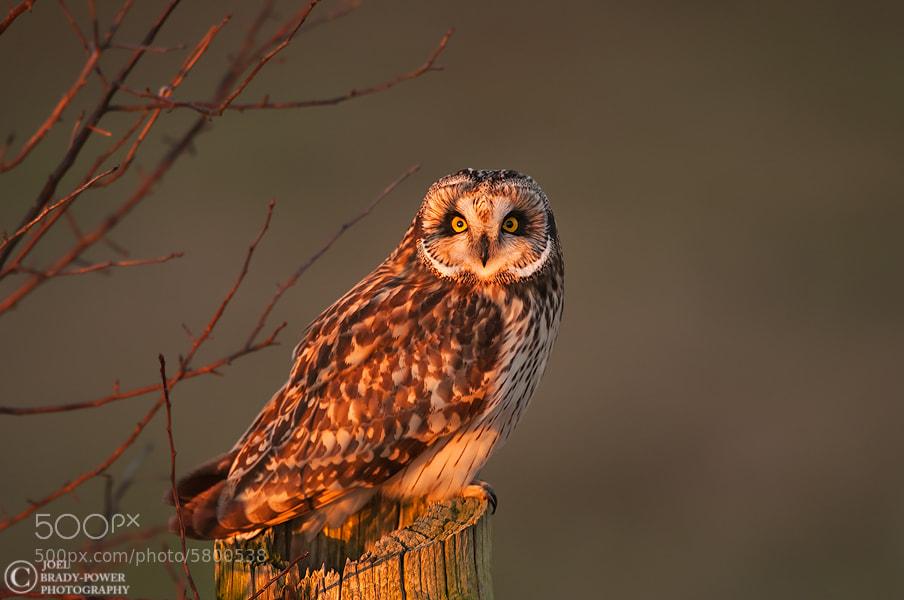 Photograph Short-eared Owl by Joel Brady-Power on 500px