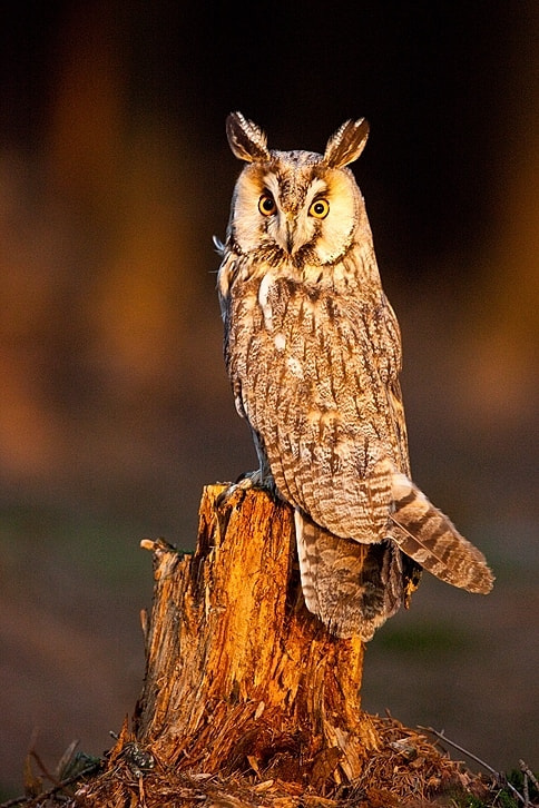 Photograph Long-eared Owl by Robert Adamec on 500px