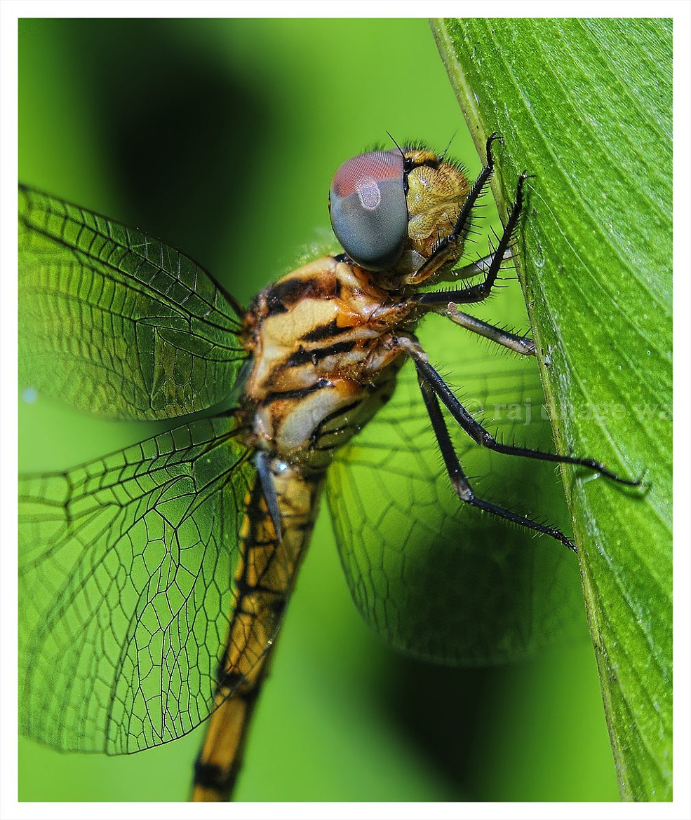 Photograph Dragonfly by raj dhage on 500px