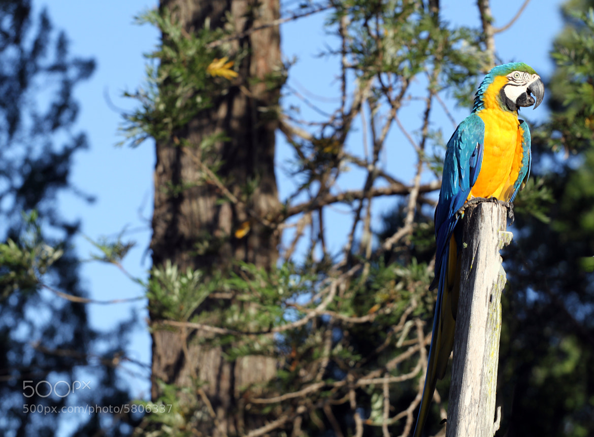 Photograph Blue-and-yellow Macaw  by Itamar Campos on 500px