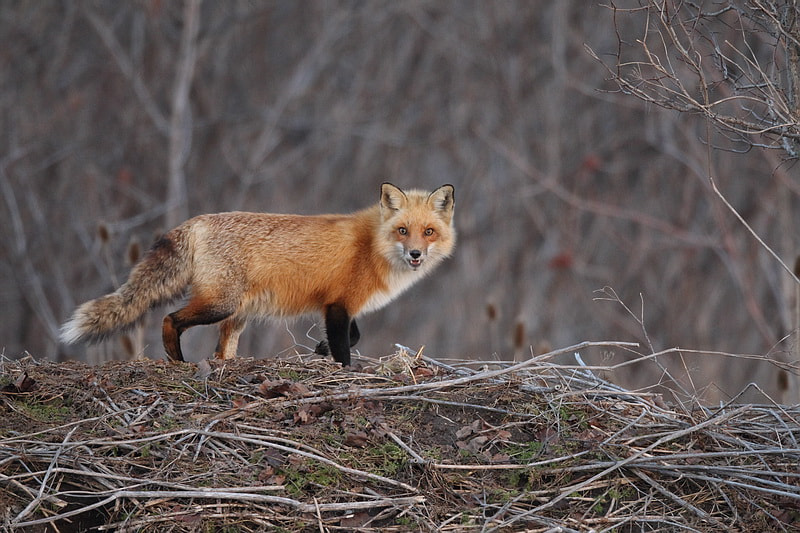 Photograph red  fox by peter  makuch on 500px