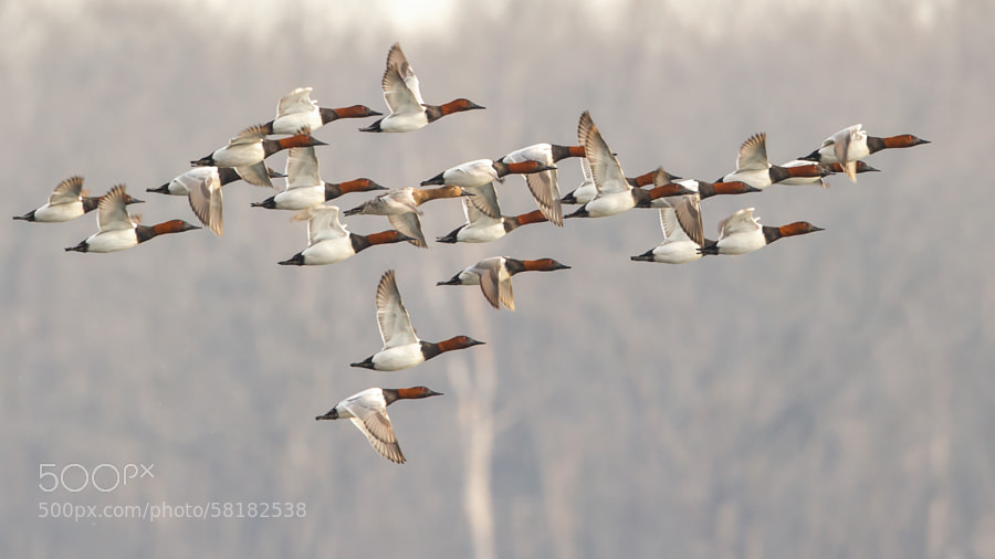 Photograph Canvasbacks in Flight by K Koontz on 500px