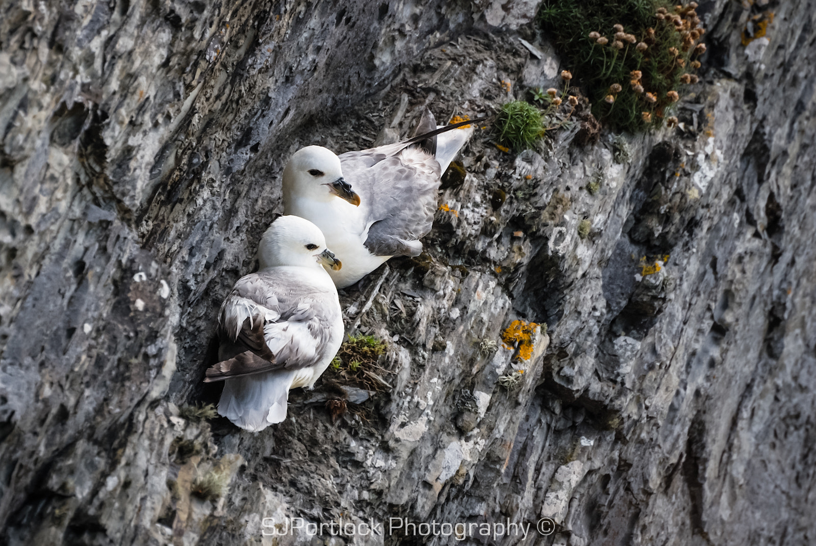 Photograph Fulmars  by Stephen Portlock on 500px