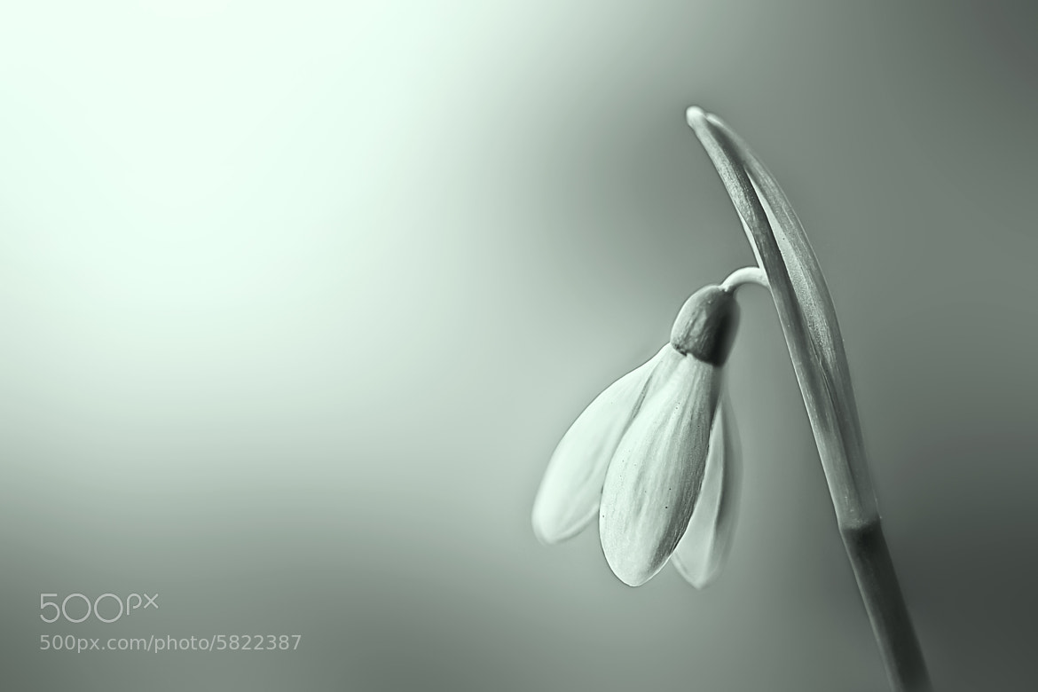 Photograph Snowdrop by Gatoon Ratchanee on 500px