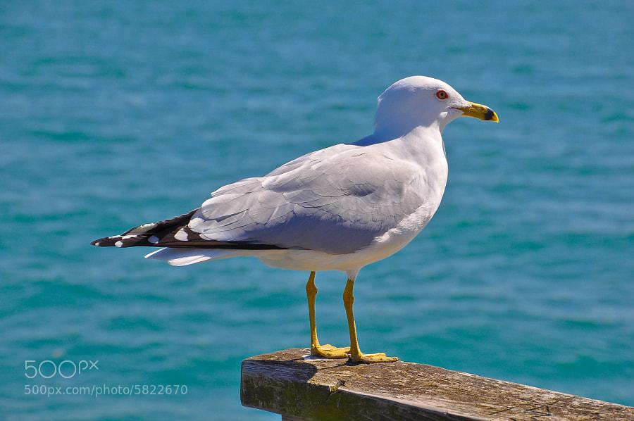 Seagull, St. Clair River, St. Clair Michigan