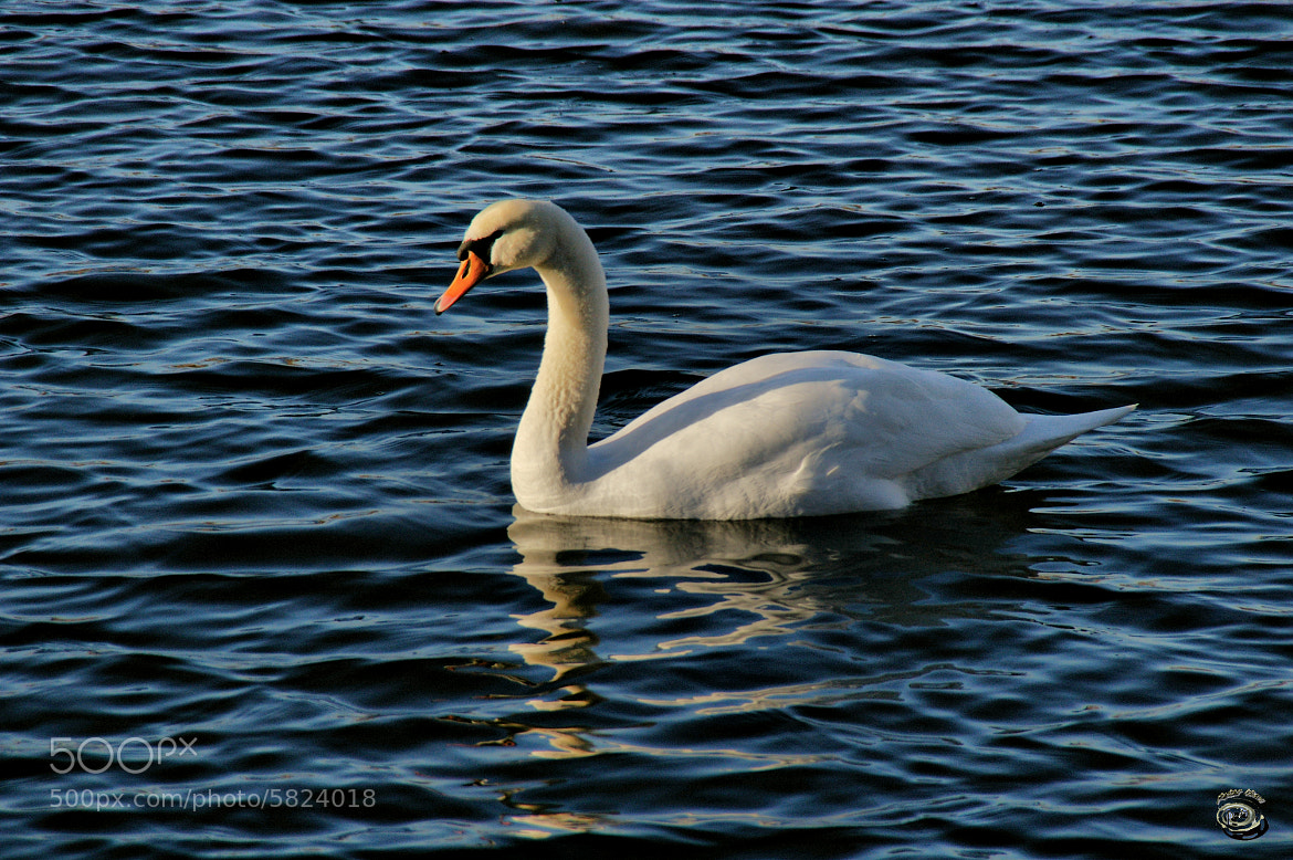 Photograph Mein lieber Schwan :) by peter may on 500px