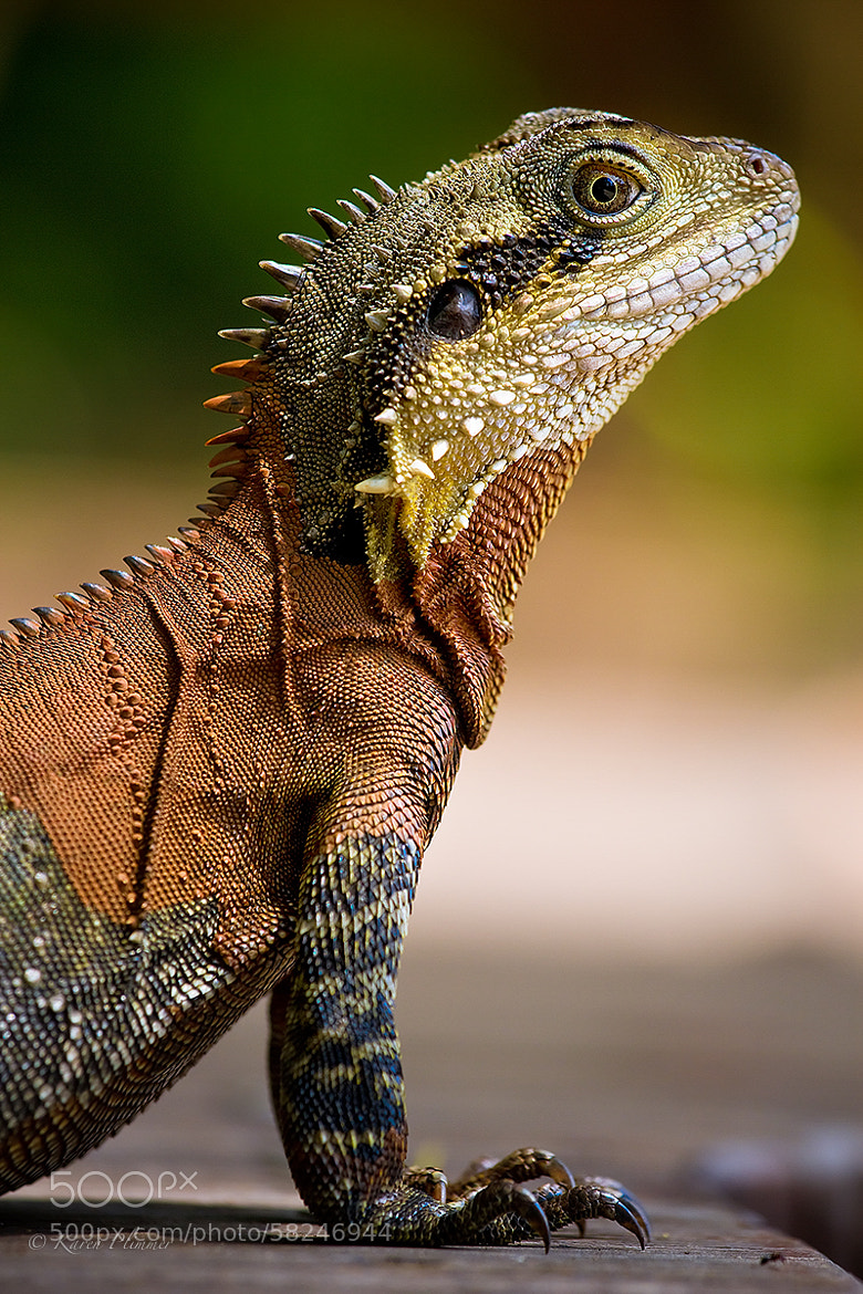 Photograph Eastern Water Dragon by Karen Plimmer on 500px