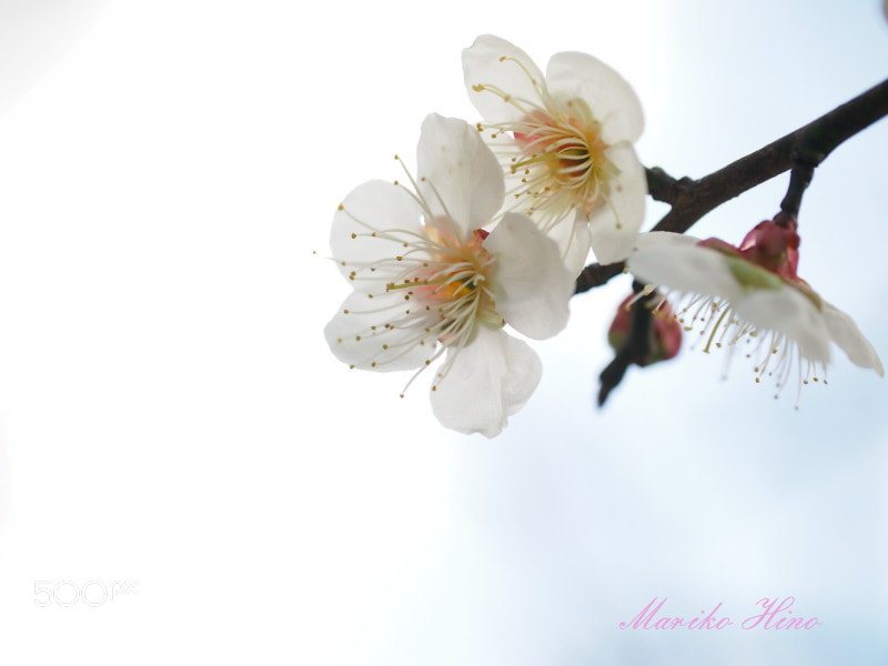 Photograph White plum by Mariko Hino on 500px