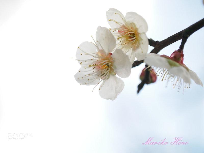 Photograph White plum by Mariko Hino on 500px
