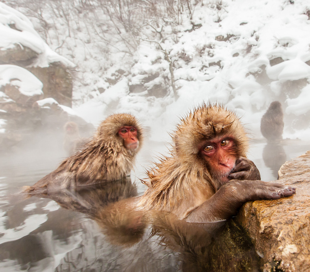 Photograph snow monkeys by cheryl dimont on 500px
