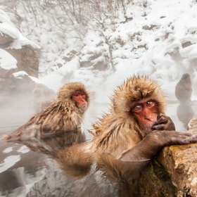 snow monkey 2 by cheryl dimont (ctsd1959)) on 500px.com
