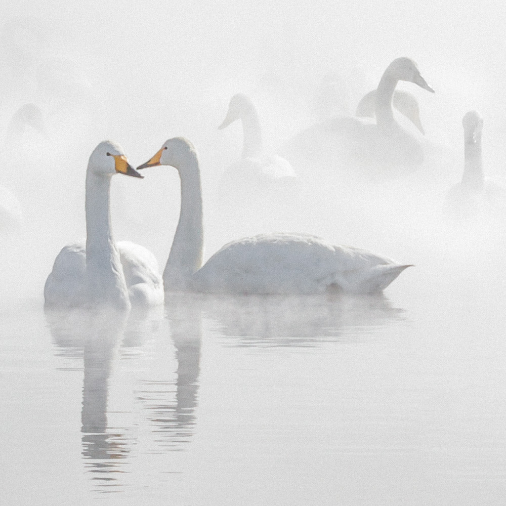 Photograph whooper swans by cheryl dimont on 500px