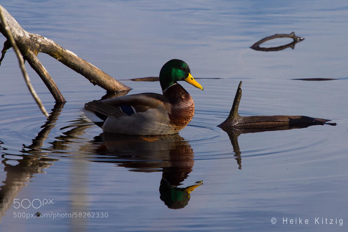 Photograph Wild duck Moss in Schwenningen Germany by Heike Kitzig on 500px