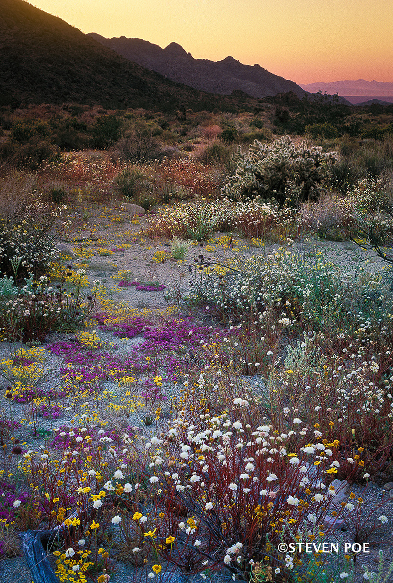 Photograph Desert wildflowers by Steven Poe on 500px