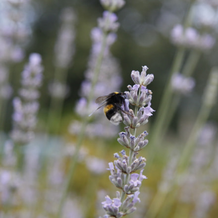 Busy bumble bee in the lavender