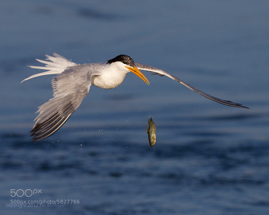 Photograph Tern vs Fish (2) by Tin Man on 500px