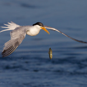 Tern vs Fish (2) by Tin Man (tinman)) on 500px.com