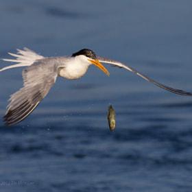 Tern vs Fish (2) by Tin Man (tinman) on 500px.com